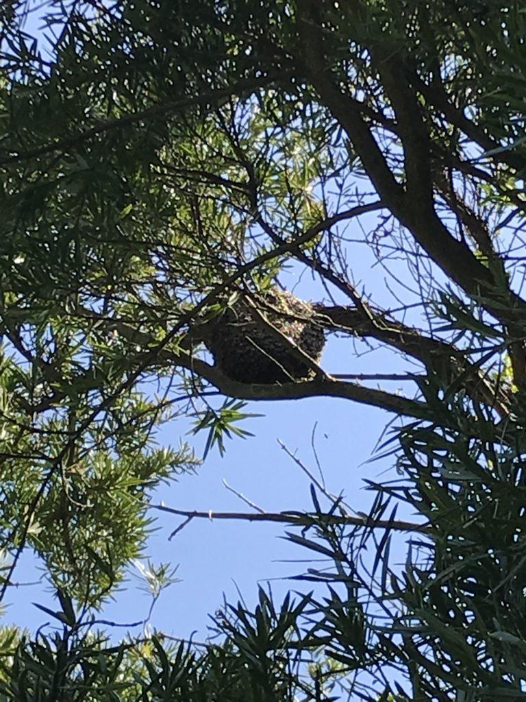 高木に止まっているミツバチの大群