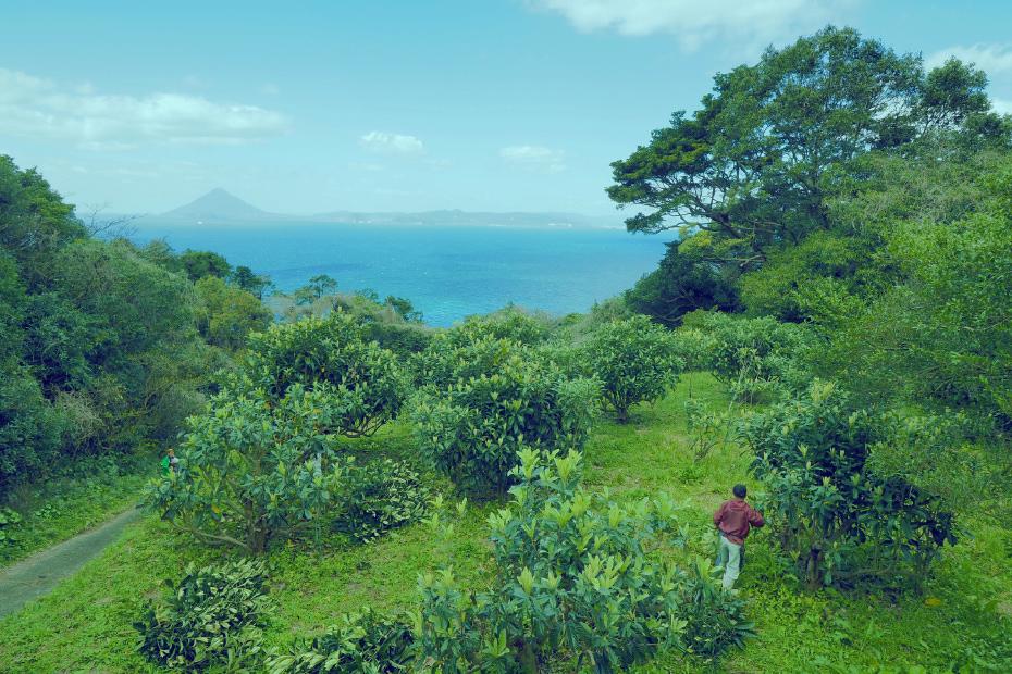 鹿児島県南大隅町根占のびわ畑から望む錦江湾と開聞岳